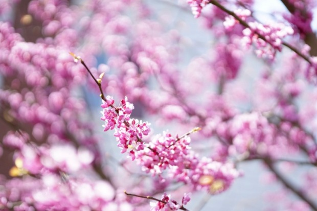 blossoms and bokeh
